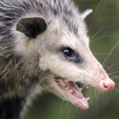 pest_opossum