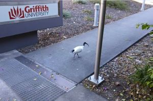 ibis2